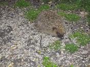Hedgehog under the bird feeder