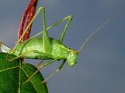 Female Green Bush Cricket