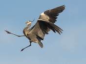 The Acrobatic Heron