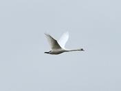 swan strumpshaw fen