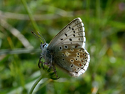 Chalkhill Blues at Warham Camp