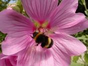 Bumblebee in our rear garden