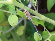 Dragonfly on Tomato Plants in back garden