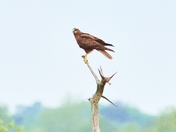 marsh harrier strumpshaw fen