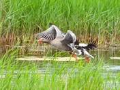 greylag geese strumpshaw fen
