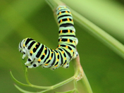 Swallowtail caterpillar