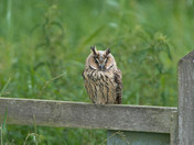 A Long -Eared Owl.