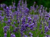 GREEN FINGERS. Lavender In My Garden