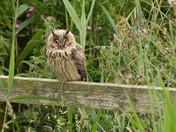 Long-Eared Owl- part2