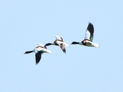 shelducks cley marsh