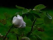 Delicate rose..