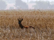 Stag in the stubble field.