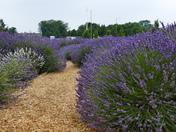 Lavender Full Of Bees