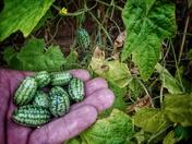 Green Fingers - First Ever Cucamelon Crop