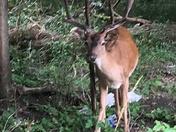 Deer in the wilds of Essex