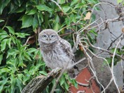 Full view young Little Owl