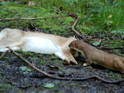 Greenfingers Stoat
