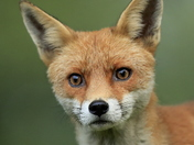 The beautiful Red Fox.