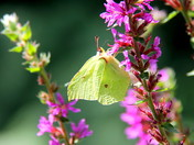The Brimstone Butterfly