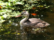 Juvenile Great Crested Grebe
