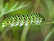 When I grow up I want to be a beautiful swallowtail butterfly!