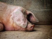 Resting Pig at Wroxham Barns Junior Farm.