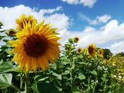 Sunflowers on a sunny day.