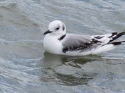 First Year Kittiwake