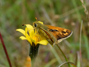 Silver Spotted Skippers Oxfordshire.
