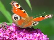 peacock butterfly & comma butterfly