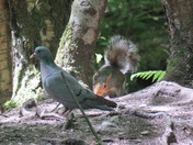 stock dove & squirrel