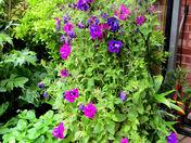 Courtyard petunia tpwer
