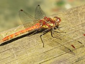 Dragonfly in close up.