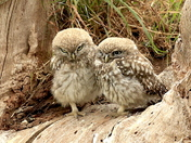 Little Owls enjoying the sun.