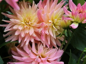 Colourful: Dahlias