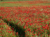 Colourful: Poppies