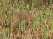 Young Chinese Water Deer.