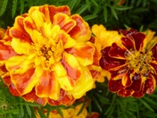 Marigold Flowers in today`s rain