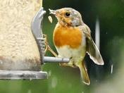 Robin shuns the rain to visit the feeder.