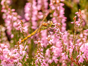 In the Heather