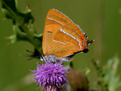Brown Hairstreak Suffolk.