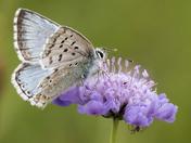 Chalk Hill Blue Butterflies