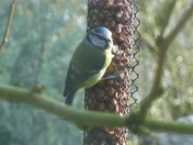Blue Tit on a feeder