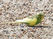 TWITCHERS ALERT    Rare bird captured on Corton beach!