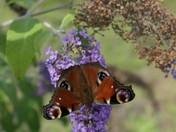 Butterflies at Lackford Lakes