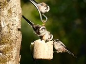 Long Tailed Tits teatime.