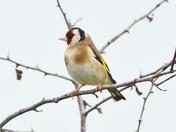 goldfinch cley marsh