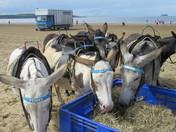 Donkey Season.