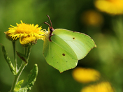 Brimstone butterfly.