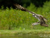 Ospreys fishing